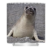 Northern Elephant Seal Weaner Shower Curtain