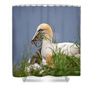 Northern Gannet Gathering Nesting Material Shower Curtain