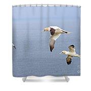 Northern Gannets In Flight Shower Curtain