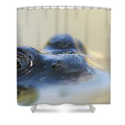 Northern Green Frog Peeking Out Of Shower Curtain