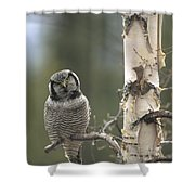 Northern Hawk Owl In The Spring Alaska Shower Curtain
