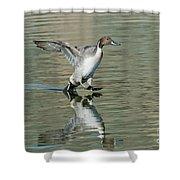 Northern Pintail Drake Tail Touching Shower Curtain