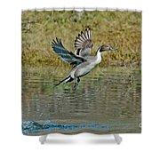 Northern Pintail Drake Taking Shower Curtain