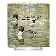 Northern Pintail Ducks  Shower Curtain
