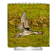 Northern Pintail In Flight Shower Curtain