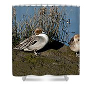 Northern Pintail Pair At Rest Shower Curtain