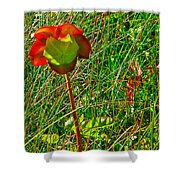 Northern Pitcher Plant In French Mountain Bog In Cape Breton Highlands-nova Scotia  Shower Curtain