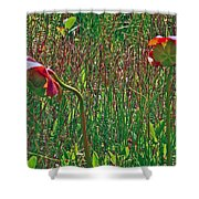 Northern Pitcher Plant In French Mountain Bog On Cape Breton Isl Shower Curtain