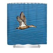 Northern Shoveler In Flight Shower Curtain