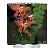 Odontioda Red Riding Hood Macro  8710 Shower Curtain
