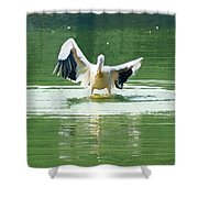 Oil Painting - Pelican Flapping Its Wings Shower Curtain