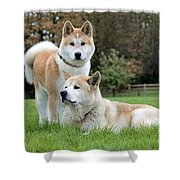 Old And Young Akita Inu Shower Curtain