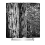 Old Growth Cedars Glacier National Park Bw Shower Curtain