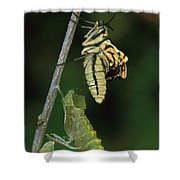 Oldworld Swallowtail Butterfly Shower Curtain
