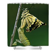 Oldworld Swallowtail Emerging Shower Curtain