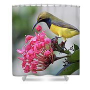 Olive-backed Sunbird Male With Flower Shower Curtain