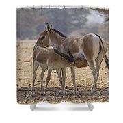Onager Equus Hemionus 2 Shower Curtain