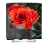 Opened Rose Bud Shower Curtain