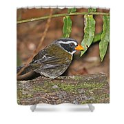 Orange-billed Sparrow Shower Curtain