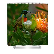 Orange-breasted Sunbird II Shower Curtain