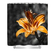 Orange Daylily Flower On Gray 3 Shower Curtain
