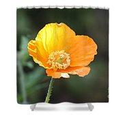 Orange Welsh Poppy Shower Curtain