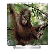 Orangutan Infant Hanging Borneo Shower Curtain by Konrad Wothe