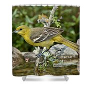 Orchard Oriole Female Shower Curtain