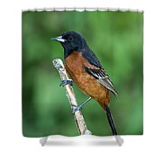 Orchard Oriole Icterus Spurius Adult Shower Curtain