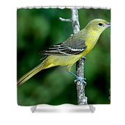 Orchard Oriole Icterus Spurius Female Shower Curtain