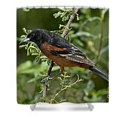 Orchard Oriole Male Shower Curtain