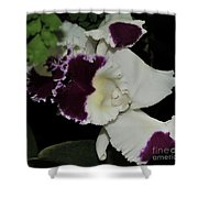 orchid 220 Cattleya Moscombe 'The King'  2 of 3 Shower Curtain
