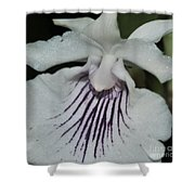 Orchid Cochleanthes Aromatica  Menehune Shower Curtain