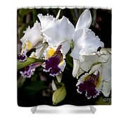 Orchid Laeliocattleya Lucie Hausermann With Buds 4074 Shower Curtain