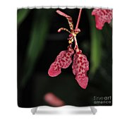 Orchid Red Renanthera Unnamed Shower Curtain