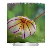 Orchids - Masdevallia Hybrid Shower Curtain