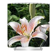 Oriental Hybrid Lily In White Peach And Pink  Shower Curtain