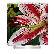 Oriental Hybrid Lily Named Dizzy Shower Curtain