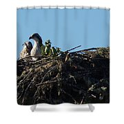 Osprey Chicks In Nest Shower Curtain