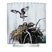 Osprey In Flight Over Nest Shower Curtain