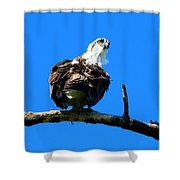 Osprey On A Branch Shower Curtain