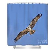 Osprey Pandion Haliaetus In Flight Shower Curtain