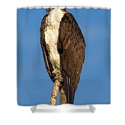 Osprey Perched In Yellowstone National Park Shower Curtain