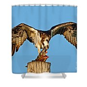 Osprey With Spotted Bass Shower Curtain