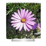 Osteospermum - African Daisy - Pink Shower Curtain