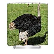 Ostrich 1 Shower Curtain