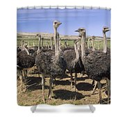 Ostrich Females South Africa Shower Curtain