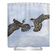 Young Peregrine Falcon And Ma Share In The Air Shower Curtain