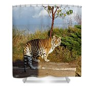 Out Of Africa  Tiger 1 Shower Curtain