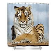 Out Of Africa Tiger 3 Shower Curtain